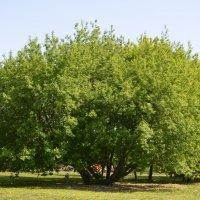 Tree :: Елена
