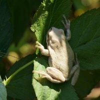 древесная лягушка :: Дмитрий Аргус