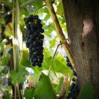 Время делать вино :: Дмитрий Полосков