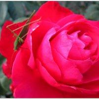 Осенняя роза с сюрпризом... :: Тамара (st.tamara)