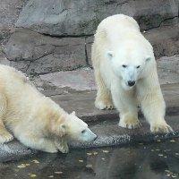 Белые медведи :: Татьяна Черняева
