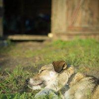 Пёс :: Александр Shamardin