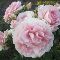 роза Rosenfee :: lenrouz