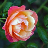 алая роза :: Лидия Юсупова