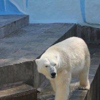 Медведь :: Наталья Золотых-Сибирская