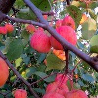 Райские яблочки :: Андрей Сотников