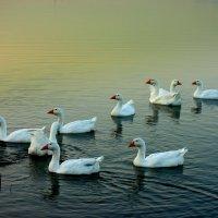 Вечернее плавание :: Нэля Лысенко