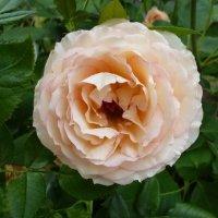 цветок розы Jalitah :: lenrouz