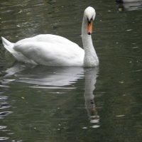 А белый лебедь на пруду... :: Алиса Калугина