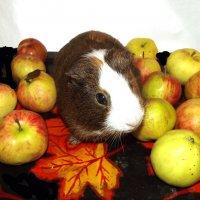 свинка в яблоках :: Сергей Кочнев