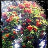 Горел луч солнца в рябины гроздьях... :: Самохвалова Зинаида