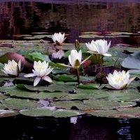 Кувшинок нежное цветение :: Наталья Джикидзе (Берёзина)
