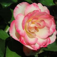 Одинокая роза. :: Маргарита ( Марта ) Дрожжина