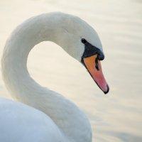 Лебедь-удивительное создание :: Ольга Штанько