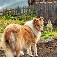 Как курица воровала корм у собаки :: Светлана Овчинникова
