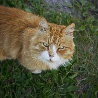 соседский кот :: Мария Иванова