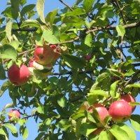 яблочки наливные :: надежда