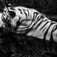 tigr :: Slava Hamamoto