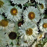 Дружные белые астры :: Нина Корешкова