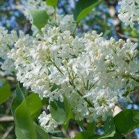 Невестой белой расцвела весной сирень в саду моём... :: Элен .
