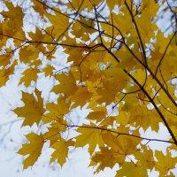 Кленовая осень :: Andrad59 -----