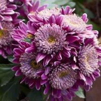 Хризантемы :: marmorozov Морозова