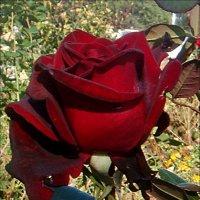 Я дарю тебе розу... :: Нина Корешкова