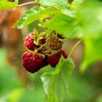 Осенняя малина :: Ekat Grigoryeva