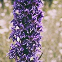 Дикая орхидея :: Полина