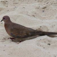 Вот такие голуби в дубай :: Savayr