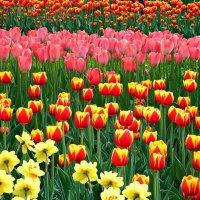 Тюльпаны :: Полина