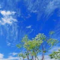 Борщевик на фоне неба голубого :: Николай Сапегин