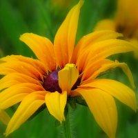 Солнечный цветок :: Наталья Лакомова