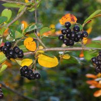 Осенние ягоды :: Aнна Зарубина