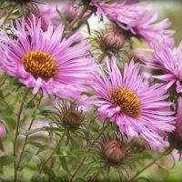 Цветы от осени в подарок... :: Елена Kазак