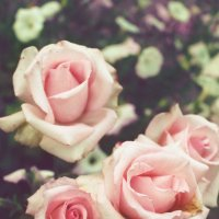 Розы... :: Nosferatu V.