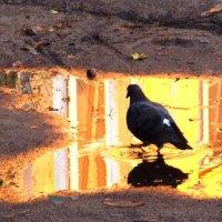 Голубь, который ничего не боится. :: Фотогруппа Весна.