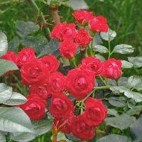 Розы Сретенского монастыря. Осень. :: Геннадий Александрович