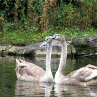 Серые лебеди в парке дублина :: Владимир Сарычев