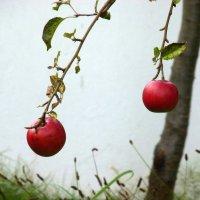 Яблоки в октябре... :: Владимир Секерко