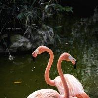 Флами́нго — род птиц, в семействе Фламинговые . :: Александр Вивчарик