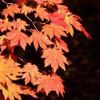 Листья клёновы... :: Rimma Telnova