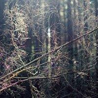 Утро в сосновом лесу :: Анна Фрошгайзер