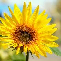 Цветок по имени Солнце :: Igor Khmelev
