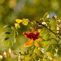 Рябиновое разноцветье :: Marina Timoveewa
