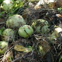 Яблоки на земле :: Виктория