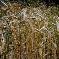 Пшеница :: Владимир Бровко