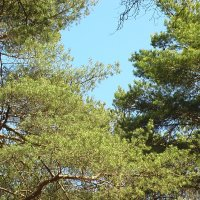 Сквозь узорные кроны деревьев lotos 5 :: Valentina Lujbimova [lotos 5]