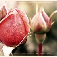Роза. :: Андрей Гендин