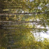 Березовый лес :: Иван Иванович